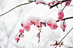 Ρόδινο λουλούδι δαμάσκηνων κάτω από το χιόνι Στοκ φωτογραφίες με δικαίωμα ελεύθερης χρήσης