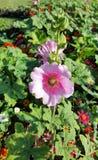 Ρόδινο λουλούδι ανθών στον πράσινο τομέα Στοκ Εικόνες