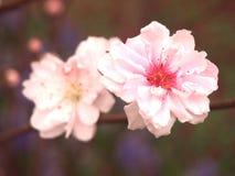 Ρόδινο λουλούδι ανθών την άνοιξη στοκ εικόνες