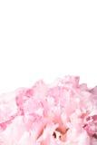 Ρόδινο λουλούδι γαρίφαλων Στοκ Εικόνες