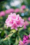 Ρόδινο λουλούδι λεπτομέρειας Στοκ εικόνα με δικαίωμα ελεύθερης χρήσης