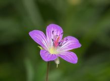 Ρόδινο λουλούδι λιβαδιών Στοκ Εικόνα