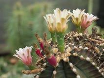 Ρόδινο λουλούδι κάκτων ανθών Στοκ εικόνες με δικαίωμα ελεύθερης χρήσης
