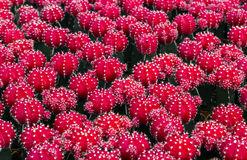 Ρόδινο λουλούδι κάκτων Στοκ εικόνες με δικαίωμα ελεύθερης χρήσης