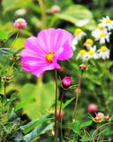 Ρόδινο λουλούδι κήπων Kosmeya στον κήπο στοκ φωτογραφία