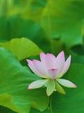 Ρόδινο λουλούδι και φύλλα Lotus Στοκ Εικόνες