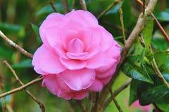 Ρόδινο λουλούδι καμελιών με τις σταγόνες βροχής Στοκ Εικόνα