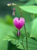 Ρόδινο λουλούδι καρδιών Στοκ φωτογραφία με δικαίωμα ελεύθερης χρήσης