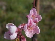 Ρόδινο λουλούδι κερασιών Στοκ εικόνα με δικαίωμα ελεύθερης χρήσης