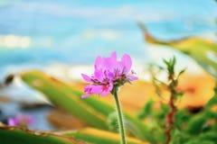 Ρόδινο λουλούδι κοντά στην παραλία Στοκ Εικόνες