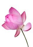 Ρόδινο λουλούδι κρίνων νερού (λωτός) που απομονώνεται, πορεία ψαλιδίσματος Στοκ Εικόνες