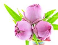 Ρόδινο λουλούδι κρίνων νερού (λωτός) Στοκ Εικόνα