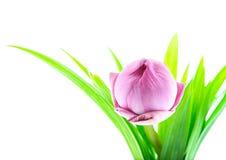 Ρόδινο λουλούδι κρίνων νερού (λωτός) Στοκ Φωτογραφίες