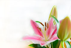 Ρόδινο λουλούδι κρίνων (Lilium) Στοκ εικόνα με δικαίωμα ελεύθερης χρήσης