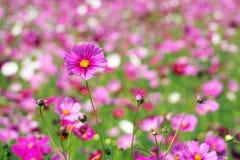 Ρόδινο λουλούδι κόσμου με το διάστημα αντιγράφων Στοκ Εικόνες