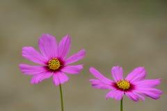 Ρόδινο λουλούδι κόσμου στοκ εικόνες