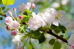 Λουλούδια της Apple πέρα από το φυσικό υπόβαθρο Στοκ φωτογραφίες με δικαίωμα ελεύθερης χρήσης