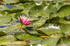 Ρόδινο λουλούδι μαξιλαριών κρίνων Στοκ εικόνες με δικαίωμα ελεύθερης χρήσης