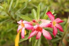 Ρόδινο λουλούδι μετά από βροχερό Στοκ εικόνα με δικαίωμα ελεύθερης χρήσης
