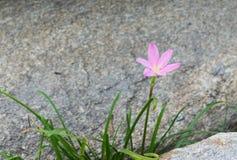 Ρόδινο λουλούδι μεταξύ των βράχων Στοκ εικόνα με δικαίωμα ελεύθερης χρήσης