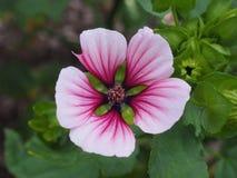 Ρόδινο λουλούδι με τα διαφορετικά χρώματα Στοκ Εικόνα