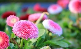 Ρόδινο λουλούδι με τα μέρη των πετάλων Στοκ Φωτογραφίες