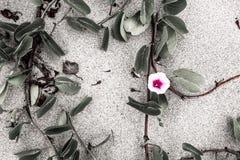 Ρόδινο λουλούδι με τα φύλλα στην άμμο Στοκ φωτογραφία με δικαίωμα ελεύθερης χρήσης