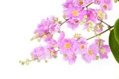 Ρόδινο λουλούδι με τα φύλλα στο δέντρο που απομονώνεται Στοκ εικόνα με δικαίωμα ελεύθερης χρήσης