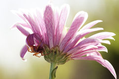 Ρόδινο λουλούδι με την αράχνη Στοκ Εικόνα