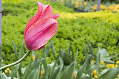 Ρόδινο λουλούδι με τις πτώσεις βροχής Στοκ φωτογραφία με δικαίωμα ελεύθερης χρήσης