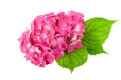 Ρόδινο λουλούδι με το πράσινο φύλλο του φυτού Hydrangea στοκ φωτογραφία