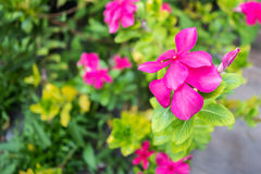 Ρόδινο λουλούδι με το υπόβαθρο θαμπάδων Στοκ φωτογραφία με δικαίωμα ελεύθερης χρήσης