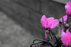 Ρόδινο λουλούδι με το υπόβαθρο τούβλου στοκ φωτογραφία