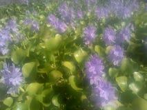 Ρόδινο λουλούδι νερού Στοκ φωτογραφία με δικαίωμα ελεύθερης χρήσης
