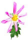 Ρόδινο λουλούδι νταλιών με τα διπλωμένα πέταλα ελεύθερη απεικόνιση δικαιώματος