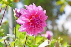 Ρόδινο λουλούδι νταλιών στο υπόβαθρο θαμπάδων Στοκ εικόνα με δικαίωμα ελεύθερης χρήσης