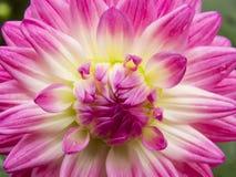 Ρόδινο λουλούδι νταλιών Στοκ εικόνα με δικαίωμα ελεύθερης χρήσης