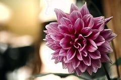 Ρόδινο λουλούδι νταλιών Στοκ φωτογραφία με δικαίωμα ελεύθερης χρήσης