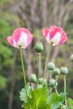 Ρόδινο λουλούδι παπαρουνών οπίου στοκ φωτογραφία με δικαίωμα ελεύθερης χρήσης