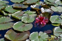 Ρόδινο λουλούδι που επιπλέει μεταξύ των μαξιλαριών κρίνων Στοκ Φωτογραφία