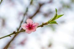 Ρόδινο λουλούδι σε έναν κλάδο δέντρων ροδακινιών Στοκ εικόνες με δικαίωμα ελεύθερης χρήσης