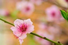 Ρόδινο λουλούδι σε έναν κλάδο δέντρων ροδακινιών Στοκ Εικόνες
