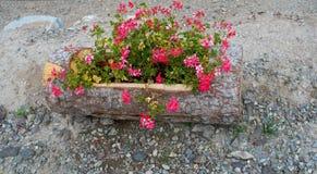 Ρόδινο λουλούδι σε ένα ξύλινο δοχείο Στοκ εικόνες με δικαίωμα ελεύθερης χρήσης