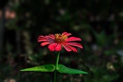 Ρόδινο λουλούδι σε ένα σκοτεινό υπόβαθρο Στοκ Εικόνα