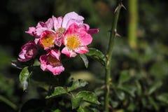 Ρόδινο λουλούδι στην άνθιση Στοκ Φωτογραφίες