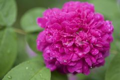 Ρόδινο λουλούδι στη βροχή Στοκ φωτογραφία με δικαίωμα ελεύθερης χρήσης