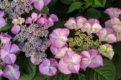 Ρόδινο λουλούδι στον κήπο μια βροχερή ημέρα Στοκ Εικόνες