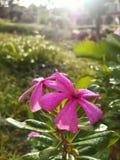 Ρόδινο λουλούδι στον κήπο Στοκ Φωτογραφία