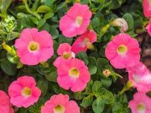 Ρόδινο λουλούδι στον κήπο Στοκ Φωτογραφίες