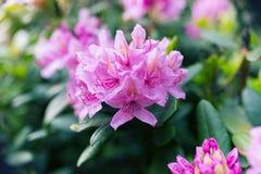 Ρόδινο λουλούδι στον πράσινο θάμνο Στοκ Εικόνες